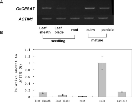 RT-PCR analysis of OsCESA7 expression.(A) Semiquantitative RT-PCR analysis of OsCESA9 expression. (B) Real-time RT-PCR analysis of OsCESA7 expression. Total RNA was extracted from leaf sheaths, leaf blades, and roots at the seedling stage and from culms and panicles at the mature stage of wild-type plants. The rice ACTIN1 gene was used as a control for equal loading. Values shown are averages of four replicates. Bars represent standard errors.