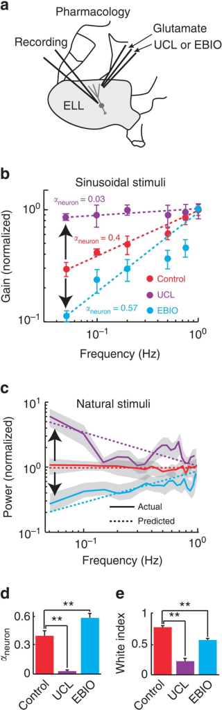 Pharmacological inactivation and activation of SK channels alter neural sensitivity and both reduce coding efficiency of natural stimuli.(a) Schematic representation showing how a double-barrel electrode approaches and can eject glutamate as well as either UCL (SK channel antagonist) or EBIO (SK channel agonist) in the near vicinity of the pyramidal neuron being recorded from. (b) Normalized gain as a function of frequency obtained for sinusoidal stimuli under control (red), after UCL application (purple) and after EBIO application (cyan). The circles show the experimental data and the dashed lines the best power law fits with exponents αneuron given in the figure. UCL and EBIO application decreased and increased the steepness of the curve, respectively (black arrows). (c) Response power spectra to natural stimuli under control (solid red), after UCL application (solid purple) and after EBIO application (solid cyan). The dashed lines show the predicted values obtained from the power law fits in b. UCL and EBIO application led to response power spectra that were no longer independent of frequency (black arrows). (d) Population-averaged neural exponent αneuron under control (red), after UCL application (purple) (N=6), and after EBIO application (cyan) (N=8). (e) Population-averaged white index values under control (red), after UCL application (purple) (N=6), and after EBIO application (cyan) (N=8). '**' indicates statistical significance at the P=0.01 level using a one-way ANOVA with post hoc Bonferroni correction.