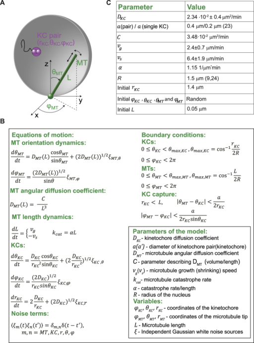 Description of the model for simulating KC capture.(A) Geometry of the model. A MT is described as a stiff rod, which is freely jointed to the SPB and exhibits dynamic instability. A KC pair is described as a single sphere with a radius which is twice as large as that of a single KC. (B) Model equations: The first column shows the equations of motion for the KCs and the MTs, the length dependence of the MT diffusion coefficient and the equations for MT growth, shrinkage and catastrophe rate. The second column shows the boundary conditions for MTs and KCs and the condition defining a KC capture event. (C) Table of model parameters. The values of DKC , vg, vs, and the initial value of rKC were measured in this work. The value for C was obtained by fitting the measured values of the MT angular diffusion coefficient as a function of length to the expression of the angular diffusion coefficient of a rigid rod. The parameter α was computed by fitting the measured length dependence of the MT catastrophe rate with a straight line passing through the origin. The value for a was obtained by doubling the value for a single KC that is given in26 and the value for R is taken from33.