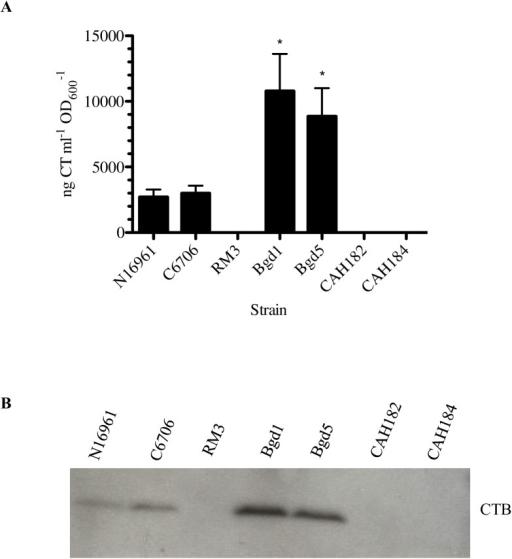 Vaccine strains do not produce cholera toxin.A, Cholera toxin production in the rhamnose-inducible tcp strains, and ctx knockout strains CAH182 and CAH184 as compared to wild-type N16961, wild-type C6706, RM3, which is the same ctx region deletion in the C6706 background, Bgd1 and Bgd5 strains. ngCTml-1OD600-1 ELISA measurements for three independent experiments presented as means with standard errors. A two-tailed standard t test yielded P values of <0.05 when CTX production of Bgd1 (*) and Bgd5 (*) were compared to all other strains. Bgd1 and Bgd5 were not significantly different from each other. B, Western immunoblot of cholera toxin B subunit (CTXB) in the listed strains, thereby confirming deletion of the genes encoding cholera toxin.