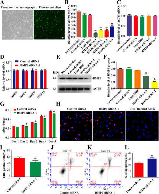 Transfection of BMP6 siRNAs and the influence of BMP6 knockdown on the proliferation and apoptosis of human Sertoli cells.(A) The transfection with FAM-labeled siRNA at 6 hours showed the transfection efficiency of BMP6 siRNAs. Scale bars in A = 10 μm. (B) Real-time PCR showed the transcription of BMP6 in human Sertoli cells at 24 hours after transfection with BMP6 siRNAs and control siRNA. (C) Real-time PCR displayed ACTB transcript in human Sertoli cells at 24 hours after transfection with BMP6 siRNA-1 and -3, control siRNA, lipofectamine 2000, or no transfection. (D) Real-time PCR revealed the expression of BMP2, BMP4, BMP9, and BMP15 in human Sertoli cells treated with BMP6 siRNA-1 and the control siRNA. (E,F) Western blots demonstrated the BMP6 protein expression in human Sertoli cells at 48 hours after transfection with control siRNA or BMP6 siRNA-1 or BMP6 siRNA-3. ACTB served as a loading control of proteins. (G) CCK-8 assay showed the growth curve of human Sertoli cells after transfection of control siRNA or BMP6 siRNA-1 for 1 to 5 days. (H,I) EDU incorporation assay showed the EDU-positive cells in human Sertoli cells after transfection of control siRNA or BMP6 siRNA-1. Cell nuclei were counterstained with Hoechst 33342. The percentages of EDU-positive cells were counted out of 500 total cells from three independent experiments. Scale bars in H = 10 μm. (J–L) Annexin V-APC/PI and flow cytometry analysis revealed apoptosis in human Sertoli cells at 48 hours after transfection of control siRNA (J) or BMP6 siRNA-1 (K). *Denoted statistically significant differences (p < 0.05) between the control and BMP6 siRNA-1-treated group.