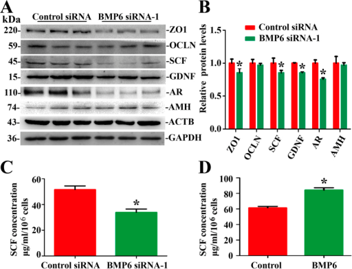 The influence of BMP6 on the function of human Sertoli cells.(A) Western blots demonstrated ZO1, OCLN, SCF, GDNF, AR and AMH proteins in human Sertoli cells at 48 hours after transfection with control siRNA or with BMP6 siRNA-1. ACTB and GAPDH served as loading controls of proteins. Full length blots of ZO1, OCLN and GDNF were presented in Supplementary Figure B. (B) The relative expression of ZO1, OCLN, SCF, GDNF, AR and AMH in human Sertoli cells at 48 hours after transfection with BMP6 siRNA-1 or control siRNA after normalization to the signals of their respect loading control. *Indicated statistically significant differences (p < 0.05) between control and BMP6 siRNA-treated group. (C,D) ELISA showed SCF secretion by BMP6 siRNA-1 (C) and BMP6 (D) in human Sertoli cells. *Indicated statistically significant differences (p < 0.05) between the control siRNA and BMP6 siRNA-1, or the control and BMP6-treated group.