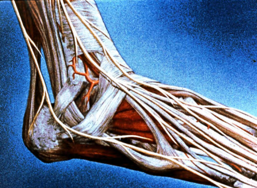 right ankle; right foot; sural nerve; lateral dorsal cutaneous nerve; intermediate dorsal cutaneous nerve; superficial fibular (peroneal) nerve; gastrocnemius muscle; Achilles (calcaneal) tendon; fibularis (peroneus) longus muscle; fibularis (peroneus) brevis muscle; extensor digitorum longus muscle and tendons; fibularis (peroneus) tertius tendon; extensor digitorum brevis muscle; abductor digiti minimi muscle; superior extensor retinaculum; inferior extensor retinaculum; inferior fibular (peroneal) retinaculum; lateral malleolar artery; lateral tarsal artery; anterior tibial pedis artery; dorsalis pedis artery; calcaneus; superficial peroneal nerve; extensor hallucis longus muscle; abductor hallucis muscle; fibula; superior peroneal retinaculum; flexor retinaculum