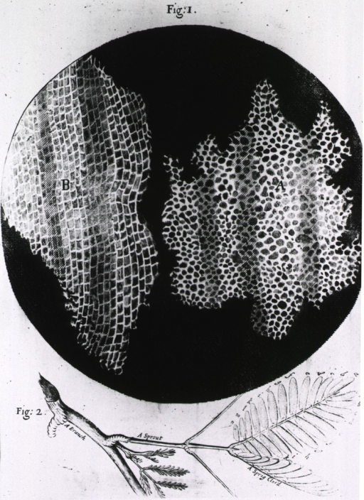 <p>Engraving of a magnified view of cork tissue showing the cellular structures; a branch from a cork tree is also shown.</p>