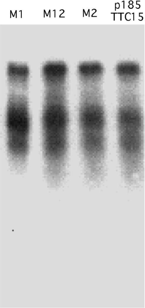 RNA truncations caused by (TTC)n repeats are not due to the H-DNA formation. RNA from a plasmid with the (TTC)15 repeat and three mutant derivatives of this repeat, M1, M2 and M12, was analyzed by northern blot hybridization with the 5′ probe shown in Figure 1A.