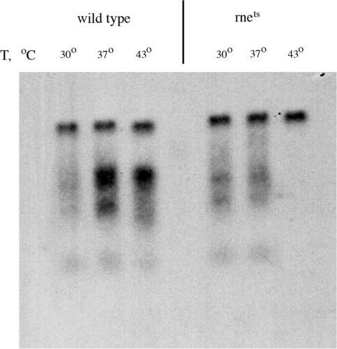 RNase E is responsible for the cleavage of (UUC)n-containing RNAs. Northern blot analysis of repeat-containing RNA isolated from the JM109 (control) and N3431 (rnets) cells carrying the p185ΔCTT20 plasmid. Prior to RNA isolation, cells were incubated at permissive (30°C), semi-permissive (37°C) or non-permissive (43°C) temperatures for 1 h.