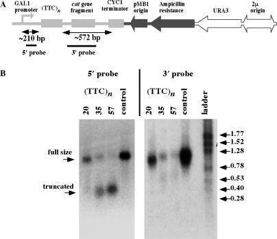 Effects of (TTC)n repeats on RNA expression in yeast S. cerevisiae. (A) The scheme of linearized yeast reporter plasmid showing a yeast transcription cassette (shown in light grey) consisting of GAL1 promoter, 210-bp 5′ part, (TTC)n repeat, and 572-bp 3′ part. 5′ and 3′ probes for northern hybridization are shown. (B) Northern hybridization analysis of the repeat-containing and control RNA transcripts.