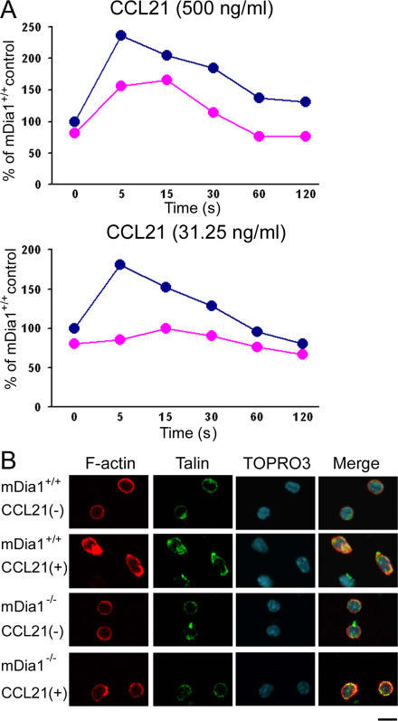 Impaired chemokine-induced actin polymerization and polarization of mDia1−/− T cells. (A) F-actin production to chemokine stimulation. T cells from mDia1+/+ (blue line) and mDia1−/− (red line) mice were stimulated with two concentrations of CCL21 for the indicated times, stained with Oregon green–phalloidin, and analyzed by flow cytometry. Mean fluorescence intensity of the entire cell population was determined for each group and is shown with that of unstimulated mDia1+/+ cells as 100%. (B) Impaired chemokine responses of mDia1−/− T cells. T cells from mDia1+/+ and mDia1−/− mice were stimulated with or without CCL21 and stained for talin, F-actin, and DNA, as indicated. Bar, 10 μm.