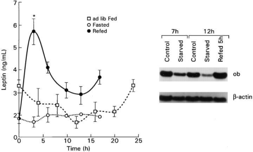 Leptin levels in freely feeding mice at intervals throughout a  24-h period and after short-term fasting and refeeding. The initial point  represents midnight, 5.5 h after beginning the dark cycle in the ad libitum  fed diurnal experiment, 7 h after the commencement of the fast in the  fasting and refeeding experiments, and the beginning of refeeding in the  latter experiment. Each point represents the mean ± SEM of 6–8 individually measured mice. Northern blot shows ob gene expression in adipose  tissue from freely fed mice (control), decreased expression after a 7- or 12-h  fast (starved), and increased 5 h after refeeding groups of mice starved for 7 h  (refed 5 h).