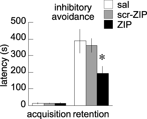 ZIP in BLA Disrupts Inhibitory Avoidance MemoryLatency to enter the dark compartment during the acquisition and retention phases of inhibitory avoidance. Retention was tested 24 h after acquisition, 2 h after the bilateral BLA injections (sal, n = 7; scr-ZIP, n = 15; and ZIP, n = 16). The latency to enter the dark compartment was similar across groups during acquisition, but not during retention. The interaction between group and phase of the inhibitory avoidance task was significant (F2,35 = 4.28; p = 0.02). ZIP impaired retention of inhibitory avoidance compared to the animals treated with saline and scr-ZIP, which were indistinguishable. The asterisk (*) indicates p < 0.01, ZIP relative to saline and scr-ZIP. All data are presented as averages, with error bars indicating standard errors of the mean.