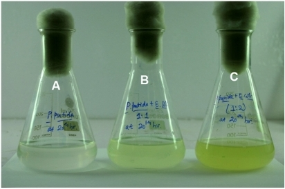 Shake flasks showing differences in GFP expression (after 20 h incubation) in PP9 cells grown in presence of difference cell densities of E. coli JM101 Blue counterpart.(A) 106 cells of PP9 were inoculated in 100 ml Tris BA medium, (B) 106 cells of PP9 and 106 cells of E. coli JM101 inoculated in 100 ml Tris BA, (C) 106 cells of PP9 and 2×106 cells of E. coli JM101 inoculated in 100 ml Tris BA. All flasks were incubated at 100 rpm and 30°C. After 20 h, 9% BA was utilized by PP9 in Flask A, whereas in flask B and C, PP9 utilized 52% and 73% BA respectively.