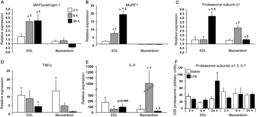 mRNA levels for proteins associated with proteolysis in muscle and myocardium following LPS infusion.Bars denote fold change in mRNA levels of A) MAFbx/atrogin-1, B) MuRF1, C) 20S proteasome subunit α1, D) TNFα and E) IL-6, compared to corresponding control values in response to either a 2 h, 6 h or 24 h i.v. LPS infusion. A value>1 indicates greater than control mRNA levels and <1 is lower then control mRNA levels. Protein levels of 20S proteasome subunits α1–3 and 5–7 were measured to confirm mRNA results for subunit alpha-1 (panel F). Values represent mean±SEM. n = 6–8 per group. By two-way ANOVA, significant differences were observed in the EDL for the main effects of treatment in all measures (P≤0.02), and for time and treatment-time interaction in all measures bar TNFα and IL-6 mRNA levels (P≤0.02). In the myocardium, significant differences for the main effect of treatment were observed in all measures bar MAFbx/atrogin-1 mRNA levels and proteasome subunit protein levels (P≤0.03). Significant differences in main effects of time and treatment-time interaction were only observed for 20S proteasome subunit α1 and IL-6 mRNA levels in the myocardium (P≤0.002). * indicates different from corresponding control (P<0.05); † different from 2 h LPS-treated muscle (P<0.05); ‡ different from 6 h LPS-treated muscle (P<0.05).