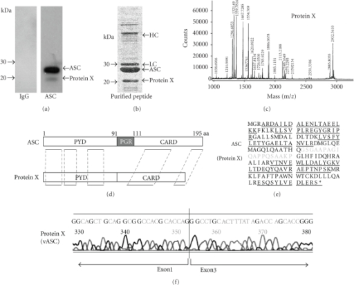 Analysis of protein X by mass spectrometry. (a) HL-60 cells were subjected to SDS-PAGE and western blot analysis using antihuman ASC antibody. In addition to full length ASC (fASC), an additional polypeptide of 20 kDa (Protein X) was detected. (b) Proteins that were affinity-purified using anti-ASC antibody were stained with Coomassie Blue. HC: Ig heavy chain, LC: Ig light chain. (c) Mass spectrum of digested protein X is shown. (d) Structures of ASC and Protein X. Homologous regions are underlined. aa: amino acid. (e) Amino acid sequence of fASC from a database (GenBank Accession no. NP 037390) and Protein X is displayed. Homologous sequences are underlined. The amino acid sequence written in light characters was not detected in Protein X. (f) Sequence of ASC cDNA extracted from HL-60 cells as Protein X is shown.