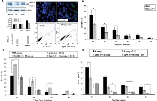 SphK-1 overexpression confers resistance to M. smegmatis infection in macrophages.(A) Sphk-1 was overexpressed in macrophages and validated by western blot, immunofluorescence and competitive S1P titers in WT and SphK-1++ macrophages. (B) Sphk-1 overexpression confers resistance to infection. Both WT and SphK-1 ++macrophages were infected with M. smegmatis and mycobacterial killing was observed up to 24 h post infection. (C) The cells under section (B) were treated with DHS and the effect on M. smegmatis killing was again evaluated up to 24 h post infection. (D) S1P regulates mycobacterial growth in macrophages. The cells under section (B) were supplemented with S1P (5 µM) and the effect of S1P on mycobacterial infection was monitored during the first 4 h time period. Data are represented as mean of CFU ± SEM from three independent experiments. ** Indicates p≤0.01; * indicates p≤0.05.