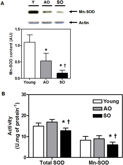 Mitochondrial Mn-SOD activity is reduced in frail old.(A) Mn-SOD protein content and (B) total- and Mn- SOD activity (U.mg of protein−1) in the vastus lateralis of young, AO, and SO subjects (N = 10/group; ♀  =  ♂). Asterisk denotes significant changes vs. young, and dagger denotes significant changes vs. AO (P≤0.05).