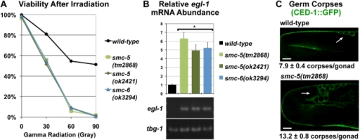 Loss of function mutations in smc-5 and smc-6 conferred hypersensitivity to ionizing radiation (IR) and increased DNA-damage responses in germ cells.(A) Graph of the viability of the eggs produced from mock and radiation-exposed germ cells in mutant F1 and wild-type L4-stage larvae as described [31]. 297 eggs or more were counted for each genotype and at each dose of IR. (B) Relative mRNA abundance for egl-1 after normalization to gamma tubulin tbg-1 as measured by quantitative RT-PCR [32]. Error bars represent standard errors. The asterisks (*) indicate significant changes from the wild-type control (p<0.001, t-Test). Gel analysis confirmed the size of each RT-PCR product and is shown underneath the graph. (C) Micrographs of germ cell corpses (white arrows) detected by CED-1::GFP fluorescence showed a greater number of corpses in the smc-5(tm2868) mutant germline. The average number of corpses per gonad and the standard error are indicated. Scale bars = 10 µm.