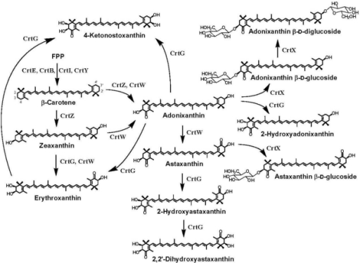 Chemical structures of ketocarotenoids produced in marine bacteria, Paracoccus sp. and Brevundimonas sp., and feasible functions of the carotenoid biosynthesis enzymes. These bacteria synthesize dicyclic carotenoids. Paracoccus sp. and Brevundimonas sp. are demonstrated to possess the unique genes crtX and crtG, respectively, in addition to the common genes, crtE, crtB, crtI, crtY, crtZ, and crtW [10,11].