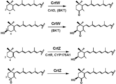 Catalytic functions of carotenoid 4,4′-ketolases (oxygenases) and carotenoid 3′3′-hydroxylases. BKT means BKT1 or BKT2 from H. pluvialis.
