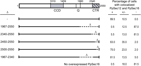 Requirement of the C-terminal portion of PpSec16 for recruiting overexpressed PpSec12 to tER sites.As in Fig. 1, PpSec16-GFP was overexpressed in P. pastoris cells overexpressing PpSec12, except that deletions were introduced as indicated near the C-terminus of PpSec16. Two hundred randomly chosen cells from each of the indicated P. pastoris strains were examined by immunofluorescence and scored for colocalization of PpSec12-GG with PpSec16-GFP. Cells in which nearly all of the PpSec12-GG overlapped with PpSec16-GFP were scored as having strong colocalization (+). Cells in which PpSec12-GG showed clear concentration in the PpSec16-GFP puncta but also showed prominent staining outside of these puncta were scored as having partial colocalization (+/−). Cells showing no visible concentration of PpSec12-GG in the PpSec16-GFP puncta were scored as having no colocalization (−). Colocalization was virtually abolished by deleting the entire C-terminal portion of PpSec16, and was strongly reduced by deleting only the C-terminal conserved region (CTR).