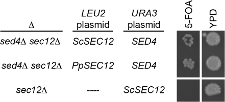 Viability of S. cerevisiae cells carrying PpSEC12 as the only gene from the SEC12 family.A plasmid shuffle was performed in sed4Δ sec12Δ cells, with SED4 in a URA3 plasmid plus either ScSEC12 (top row) or PpSEC12 (middle row) in a LEU2 plasmid. Both strains grew on rich media (YPD) and also on media containing 5-FOA, indicating that PpSEC12 could replace ScSEC12 even in the absence of SED4. As a control, sec12Δ cells carrying ScSEC12 on a URA3 plasmid were plated on the same media, and no growth was seen in the presence of 5-FOA.