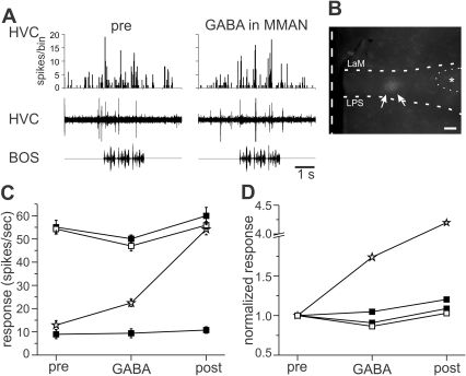 Inactivation of MMAN resulted in little change in HVC auditory responses.A. Example of auditory evoked activity in MMAN and HVC before (left) and with (right) GABA application to MMAN. Top trace, PSTH of HVC response to ten iterations of BOS playback. Bin size, 25 ms. Middle trace, single, raw example of multiunit activity in HVC. Bottom trace, sonogram of BOS. B. Location of GABA application in MMAN approximated by rhodamine labeling (arrows). LMAN is outlined to the right of the dye (dotted semicircle, *). Scale bar, 200 µm. The dashed vertical line denotes the midline. Dorsal is upward. C. Average response of HVC to BOS presentation before (pre), during (GABA) and after (post) BOS presentation. In two experiments (filled squares) GABA application to MMAN did not produce a significant change in HVC response. In one experiment (open squares) there was a significant decrease in the HVC response to BOS during GABA application compared to pre and post GABA application (ANOVA, p<0.5, Tukey post-hoc). In one bird (open stars) the response to BOS increased throughout the duration of the experiment (pre, GABA, and post were all significantly different than each other; p<0.5, ANOVA, Tukey post-hoc). D. Normalized responses of data shown in C.