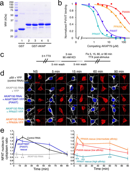 A high-affinity AKAP79 variant, PPAIIIT, does not support NFAT nuclear translocation in hippocampal neurons. (a) Recombinant GST, GST-tagged wildtype AKAP79(333–408) (PIAIIIT, lane 2), and the variants PIAIIIA, PPAIIIA, and PPAIIIT (lanes 3–5) were analyzed by SDS-polyacrylamide gel electrophoresis and staining with Coomassie Brilliant Blue. (b) Kis estimated in a competitive binding assay are PPAIIIT, 0.08 µM; wildtype, 0.36 µM; PPAIIIA, 12 µM; and PIAIIIA, 39 µM. Total competitor concentration (not free concentration) is plotted. Data shown are representative of three experiments. (c) KCl stimulus protocol previously shown to activate L-type Ca2+ channel signaling through CN in hippocampal neurons21,29. (d) Summed intensity projection images of neuronal cell bodies and proximal dendrites in nonstimulated (NS) cultures and in cultures fixed at the indicated times after KCl stimulation. Transfection with control RNAi plasmid (pSil), AKAP150 RNAi plasmid, and RNAi-resistant expression plasmids is indicated. The paired images show YFP or AKAP-YFP (white), DAPI-stained nuclei (blue), and endogenous NFAT (red). (e) Time course of NFAT nuclear import after KCl stimulation, from experiments as in panel d, quantified as nucleus-to-cytoplasm mean fluorescence intensity ratios21. Each point represents n=12–25 neurons, and in each case the data have been normalized to the value for nonstimulated cultures (t = 0 min). Statistical comparisons were by one-way ANOVA with a Bonferroni post-hoc test, *p<0.05 and **p<0.01 compared to AKAP79WT rescue.