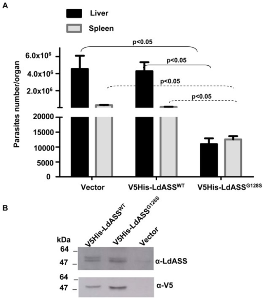 An inactive LdASS enzyme induces a loss of virulence in vivo.(A) Data presented are the average number of parasites per organ from 9 animals in liver (black bars) or spleen (gray bars). Error bars indicate the standard error. Means that are significantly different by One way ANOVA (Tukey HSD) are indicated. The experiment was repeated three times with similar results. (B) Western blot with anti-LdASS and anti-V5 antibodies using an equal number of lysed promastigotes (V5His-LdASSWT, V5His-LdASSG128S and vector control) cultured for three weeks after recovery from 5 week infection of mice.