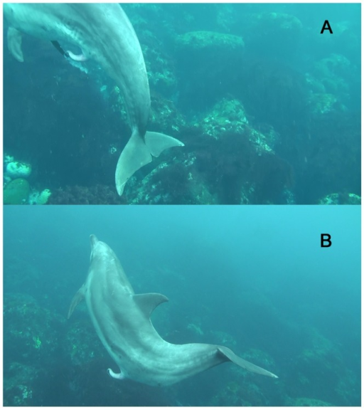 Spontaneous ejaculation by a wild Indo-Pacific bottlenose dolphin off Mikura Island, Japan.(A) Dense seminal fluid was ejaculated from the tip of the penis with initial contraction of the peduncle muscle downward. (B) A few seconds after the first ejaculation of seminal fluid, the remaining seminal fluid was ejaculated for 0.86 s (26 frames at (1/30 s)/frame).