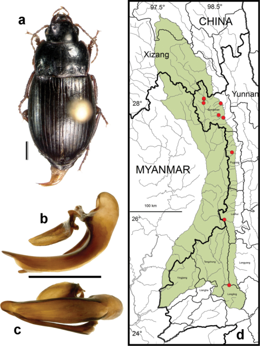 Amara (Bradytus) dissimilis Tschitschérine. a dorsal habitus (CASENT1033318) b–c median lobe of aedeagus of male (CASENT1002115) b left lateral aspect c dorsal aspect; scale lines = 1.0 mm d Map of localities records (red circles) for Amara dissimilis in the Gaoligong Shan region, scale line = 100 km.