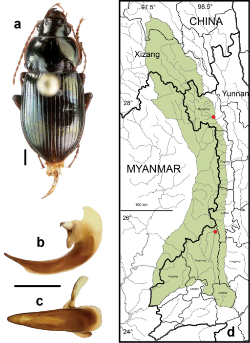 Amara (Bradytus) pingshiangi Jedlička. a dorsal habitus (CASENT1038324) b–c median lobe of aedeagus of male (CASENT1038324) b left lateral aspect c dorsal aspect; scale lines = 1.0 mm d Map of localities records (red circles) for Amara pingshiangi in the Gaoligong Shan region, scale line = 100 km.