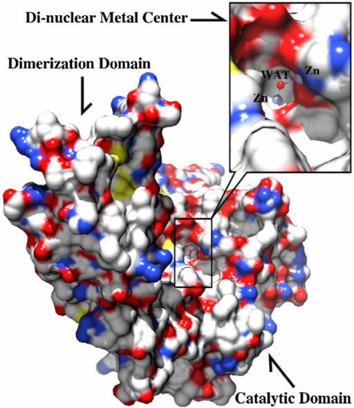 "Surface rendering of the [ZnZn(ArgE)] molecule where the black box indicates the position of the di-nuclear metal center. Insert: Close-up of the dinuclear Zn(II) cluster showing that the active site is located in a long cleft across the catalytic domain. Zn(II) ions are shown in light blue spheres and the bridging water molecule is shown as a red sphere and labeled as ""WAT""."