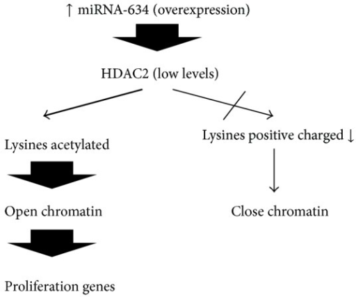 Pathway proposed in which overexpression of miRNA-634 can affect HDAC2 and open chromatin in MB.
