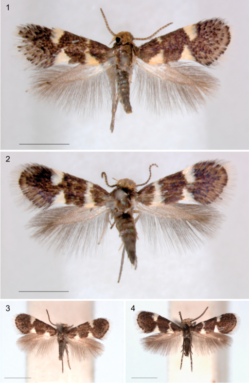 Holocacista species, adult habitus. 1–3Holocacistacapensis: 1 Male holotype, RMNH.INS.24622 2 Female, Western Cape, Paarl, RMNH.INS.24624 3 Male, Western Cape, Wilderness, reared from Rhoicissusdigitata, Genitalia slide EvN4381 4Holocacistasalutans, male, Kwazulu-Natal, Umhlanga Rocks, reared from Rhoicissusrevoilii, Genitalia slide EvN 4383. Scales 1 mm.