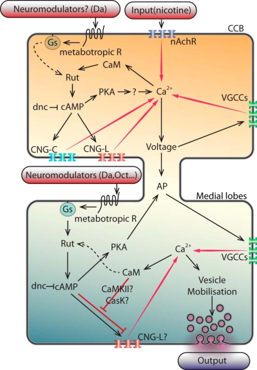 Schematic integrative model of interactions of the different partners involved in the Ca2+-response modulation in the CCB and the medial lobe. In the CCB: the conditional stimulus (e.g., an olfactory stimulus) triggers nicotinic inputs, which activate the nAchR located on the KCs of the MBs, allowing the Ca2+-entry. Calcium binds to CaM and subsequently activates the production of cAMP by RUT. In agreement with the coincidence detector model, in certain conditions, e.g., when the conditional stimulus is simultaneously applied with an unconditional stimulus (e.g., a nociceptive electric shock), the dopaminergic receptors could costimulate the rut-AC to increase further the cAMP level through Gαs. The resulting increase in cAMP stimulates the PKA as well as the CNGs (CNGC and CNGL), which both participate in amplifying the Ca2+-entry. At the same time, the PKA allows the Ca2+-entry and/or the persistence of the Ca2+-entry, likely by affecting the repolarisation of the cells, possibly through the K+-channels. In parallel and simultaneously, the Ca2+-entry modifies the voltage of the cells that allows the voltage-gated calcium channels (VGCC) to also participate to the Ca2+-entry. Altogether, these activities trigger actions potentials (APs) that propagate to the lobes. In the medial lobes: at the axon terminals, the APs open the VGCC, allowing Ca2+-entry. This Ca2+ stimulates the CaM. In parallel or simultaneously (as for instance in certain environmental conditions), a neuromodulator (e.g., dopamine, octopamine) activates a metabotropic receptor, which stimulates a G-protein, and then stimulates the RUT to increase the cAMP. Then, the cAMP stimulates the CNGs (and more likely the CNGL; as suggested by our results in Fig. 6F,H,J). Moreover, according to our results (knocking-down the CaM and handling the cAMP level; Fig. 4), we hypothesize that the CaM might act as an inhibitor of the cAMP-stimulation of the CNGL (red line). This could be achieved either through the CaMKII or CASK, since both of them have been implicated in learning and memory, or directly by the CaM on the CNGL (since in some organisms, certain CNGs have been reported to be sensitive to CaM; Kaupp and Seifert, 2002). These successive events lead to the fine tuning of the Ca2+-level that mobilize the synaptic vesicles and the output. This hypothetical concomitant inhibition by the CaM and the cAMP on the CNGL could represent a coincidence detector.