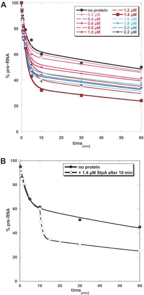 StpA-induced splicing of the td pre-mRNA. (A) Splicing assay of the sho-sho RNA in the presence of increasing amounts of StpA. The reactions were performed at 37°C as described in experimental procedures. Increasing the amount of the RNA chaperone leads to an increase of the fast-reacting RNA population with a peak activity at 1.4 µM StpA. Higher StpA concentrations again reduce the activity. (B) Comparison of the splicing behaviour of the sho-sho RNA in the absence and after addition of StpA to the splicing reaction after 10 min of incubation. StpA causes a burst of activity immediately after addition.
