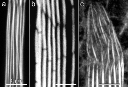 Actin bundle morphogenesis during bristle development illustrated by confocal images of phalloidin-stained actin bundles. A portion of a bristle is shown in each panel. Bristle tips are up. (a) Microchaete from of a 44-h pupa showing that the bundles are continuous with no gaps. (b) Macrochaete from a 48-h pupa bristle during an early stage in bundle disassembly. Note the gaps between modules in the bundles. (c) Macrochaete tip from a 33-h pupa showing very small modules that eventually morph into smooth bundles (bottom). Bars, 5 μm.