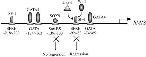 MIS promoter. Binding sites for the transcription factors required for proper MIS expression are shown. Their position in human MIS promoter is indicated (hMIS). WT1 and Dax-1 are able to respectively stimulate or repress MIS promoter activity by interacting with SF-1 bound to its proximal responsive element. Effect of the mutation of the proximal SFRE or SOX9 responsive element introduced by knock-in in mice on Müllerian ducts regression is indicated. Abreviations : Sox BS, SOX factors binding site; SFRE, SF-1 responsive element.