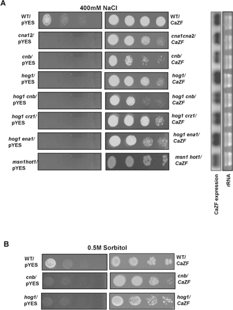 CaZF suppresses salt sensitive phenotype of Hog and Calcineurin mutants.A, Wild type and mutant BCY123 cells harbouring either only vector (pYES2.1) or CaZF were spotted onto YPGalRaf plates, containing 0.4 M NaCl. Right panel demonstrated the CaZF expression level in WT and mutant BCY123 yeast strain. rRNA was taken as loading control. B, Wild type BCY123 and hog1 or cnb mutants expressing CaZF were spotted onto YPGalRaf medium containing 0.5 M sorbitol. All spotting experiments were performed, as described in Figure. 4. Representative figures from three independent experiments are shown.