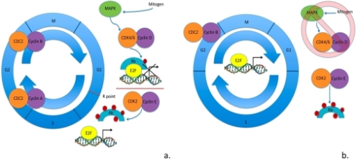 Cell cycle in somatic cells vs. ESCs. (a) Cell cycle regulation                                            in somatic cells: mitogen signaling through MAPK pathway activates cyclin D                                            - CDK4/6 kinase activity hypophosphorylating Rb family member proteins.                                            Hypophosphorylated Rb family member proteins bind to E2F transcription                                            factors blocking the transcription of E2F-regulated genes.  To surpass the                                            R point cyclin E - CDK2 kinase activity is activated hyperphosphorylating                                            Rb family member proteins.  Hyperphosphorylated Rb family member proteins                                            are unable to interact with E2F factors, allowing them to activate                                            transcription of genes necessary in the progression of cell cycle. (b)                                            Cell cycle regulation in ESCs as is currently understood.  Mitogen                                            signaling through MAPK pathways seems to be irrelevant in the progression                                            of cell cycle.  There is cell cycle-independent expression of cyclin E -                                            CDK2 maintaining the hyperphosphorylated levels of Rb family member                                            proteins.  This results in cell cycle-independent expression of                                            E2F-regulated genes.  Cyclin B - CDC2 is the only CDK activity that appears                                            to be regulated by the cell cycle.  ESCs have shortened gap phases and an                                            elongated S phase of the cell cycle, with an apparent lack in the R point                                            for G1-S transition.