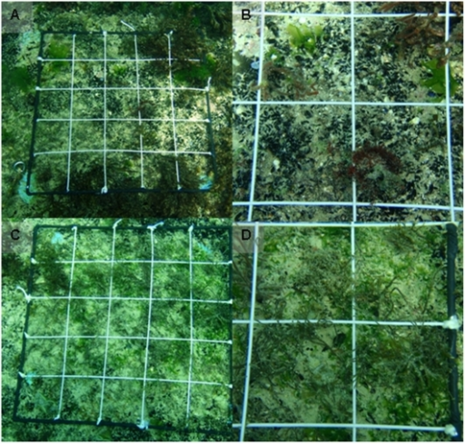Photos of the Clearing Experiment:A. un-manipulated (control) plot showing typical cover of stable habitats composed of various (non-Cystoseira) seaweeds, mussel beds and turf. B. Representative close-up of control plot with no Cystoseira recruits. C. Cleared plot dense ca. 3 m old C. barbata recruits. D. Close-up of ca. 3 m old C. barbata recruits in cleared plot.
