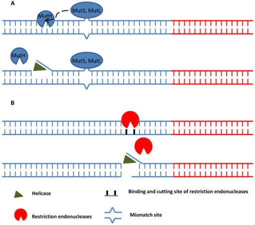 Schematic model of restriction endonucleases effects on HDA. Panel A.) Mechanism in vivo: The mismatch is recognized by MutS. MutS and MutL form complex to stimulate MutH which generates nick site of the DNA duplex near the mismatch position. UvrD (helicase) is then loaded, unwinds the DNA duplex at the nick, and extends toward the mismatch. Panel B.) Mechanism in vitro: Restriction endonucleases specifically cut the DNA duplex near the target sequence, generate blunt or 5' ss or 3' ss ends or nick site (if using nicking enzyme). UvrD is then loaded and unwinds the DNA duplex. Red lines represent target DNA sequence. Blue lines represent non-target DNA sequence.