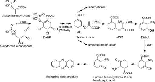 Schematic representation of the phenazine biosynthesis pathway.