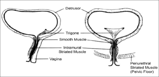 Anatomy Of The Female Urethra Linear Diagram Open I