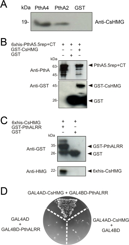 PthA binds to CsHMG in vivo through its invariable LRR region.(A) PthA2-GST, PthA4-GST or GST alone bound to glutathione resins were incubated with a citrus cell lisate. Bound proteins were separated by gel electrophoresis and CsHMG was detected by the anti-CsHMG serum in the PthA samples only. (B) Western blot of GST-pulldown assay of immobilized GST or GST-CsHMG as baits and purified 6xHis-PthA5.5rep+CT2 as prey. The eluted 6xHis-PthA5.5rep+CT2 (∼63 kDa) was detected by the anti-PthA serum only when GST-CsHMG was used as bait. The purified 6xHis-PthA5.5rep+CT2 was added in the first lane of the gel as reference. (C) Western blot analysis of eluted fractions of GST-pulldown assay of immobilized GST or GST-PthALRR as baits and purified 6xHis-CsHMG as prey. The eluted 6xHis-CsHMG (∼22 kDa) was detected only when GST-PthALRR was used as bait. (D) Yeast two-hybrid assay showing the interaction between CsHMG and the PthA LRR domain. Yeast double-tranformants, including controls (GAL4AD+GAL4BD-PthALRR and GAL4BD+GAL4AD-CsHMG), were grown in SC -Trp -Leu -His -Ade in the presence of 5 mM 3AT.