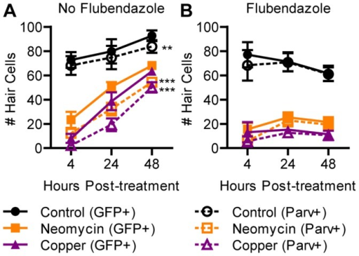 Hair cell regeneration is blocked by inhibition of mitosis.ET4:GFP larvae were treated at 5 dpf with neomycin or copper for 1 h and incubated in flubendazole for 48 h. (A) Those not treated with flubendazole continued to add mature hair cells. Two-way ANOVA found significantly more cells expressed GFP than parvalbumin (p<0.001), indicating the presence of hair cell precursors. Bonferroni post-hoc analysis confirmed a significant difference in control and ototoxin-treated groups between GFP- and parvalbumin-positive hair cell counts at 48 hpt (**, p<0.01; ***, p<0.001). (B) Those treated with flubendazole exhibited little or no increase in mature hair cells. There were at most 1 or 2 parvalbumin-negative precursors present per neuromast, indicating that undifferentiated precursors did not accumulate. N = 8 fish per group. Error bars are +/− SD.