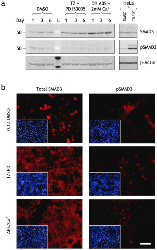Effect of differentiation on SMAD3 and pSMAD3 protein expression in NHU cells.(a) Protein lysates were prepared from NHU cells treated with 0.1% DMSO (control), TZ/PD or ABS/Ca2+ for 1, 3 and 6 days. Cell extracts (25 µg) were resolved on 4–12% Bis-Tris polyacrylamide gels and transferred onto PDVF membranes. Membranes were incubated with titrated primary antibodies for 16 h at 4°C to SMAD3 and pSMAD3, as indicated. Bound antibody was detected with Alexa Fluor® 680 and LI-COR IRDye™ 800 conjugated secondary antibodies and visualised using the Odyssey™ Imaging System. β-actin was used as an internal loading control. HeLa cells treated with TGFβ1 (2 ng/ml) for 24 h was used as a positive control. L is the molecular size ladder. (b) NHU cells were seeded at 500 cells/cm2 onto glass slides, allowed to adhere and treated with or without TZ/PD or ABS/Ca2+ for 6 days and fixed in formalin. Media were replaced every 3 days with fresh treatments. Indirect immunofluorescence was performed with anti-SMAD3 and anti-pSMAD 3 antibodies as indicated and detected with Alexa 594-conjugated secondary antibodies. Picture inserts show the respective Hoescht 33258 nuclear stain. Scale bar 90 µm.