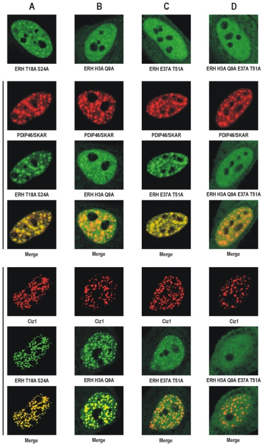 Recruitment of substituted forms of human ERH to nuclear speckles and replication foci in HeLa cells visualized by confocal microscopy.EGFP-tagged substituted forms of ERH expressed alone (top) or coexpressed with mCherry-tagged human PDIP46/SKAR (middle) or mCherry-tagged human Ciz1 (bottom). A. ERH T18A S24A localizes to the nucleus and is recruited both to nuclear speckles and to replication foci similarly to wild-type ERH. B. ERH H3A Q9A is present not only in the nucleus but also in the cytoplasm, shows diminished recruitment to nuclear speckles but still accumulates in replication foci. C. ERH E37A T51A localizes partly to the cytoplasm, is recruited to nuclear speckles, and shows very week accumulation in replication foci. D. ERH H3A Q9A E37A T51A is also present in the cytoplasm and recruited neither to nuclear speckles nor to replication foci.