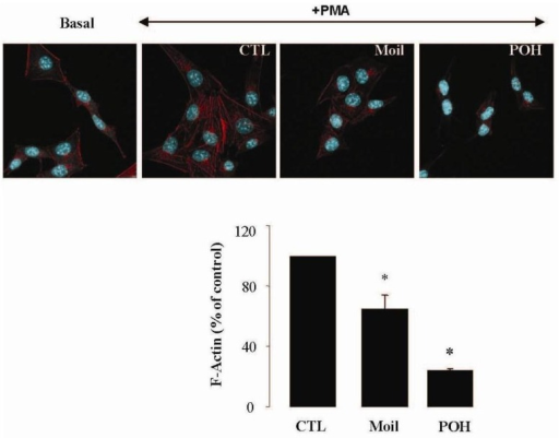 Mastic oil inhibits actin polymerization in PMA-induced LLC cells. Serum-starved LLC cells were treated with Moil (0.04% v/v), POH (1.0 mM) or vehicle (CTL) for 3 h and then induced by 1 μM PMA or vehicle (basal) for 30 min. Cells were fixed and F-actin was visualized by phalloidin staining. Top panel: representative micro-photographs (630 X magnification); bottom panel: graphs from image analysis of F-actin staining normalized to cell numbers and expressed as mean (% of control) ± SEM; n = 96–160, *P < 0.05.