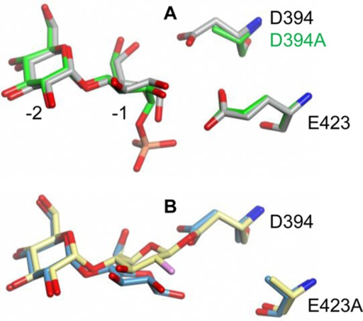 Superposed structures of (A) maltose (PDB entry 3ZT5, gray) and α-maltose1-phosphate (PDB entry 4CN1, green) bound to wild-type and D394A GlgE, respectively,and (B) maltose (PDB entry 4CN6, blue) and the trapped 2-deoxy-2-fluoro-β-maltosylintermediate (PDB entry 4CN4, yellow) bound to the E423A mutein. Comparison ofthe structures in panel B reveals that the anomeric carbon moves 1.6Ǻ to allow the formation of a covalent bond between thedisaccharide and D394. The glucose rings in each structure adopt thelow-energy 4C1 conformation.The orientation shown is similar to that in Scheme 1 with subsites −1 and −2 labeled in panel A.