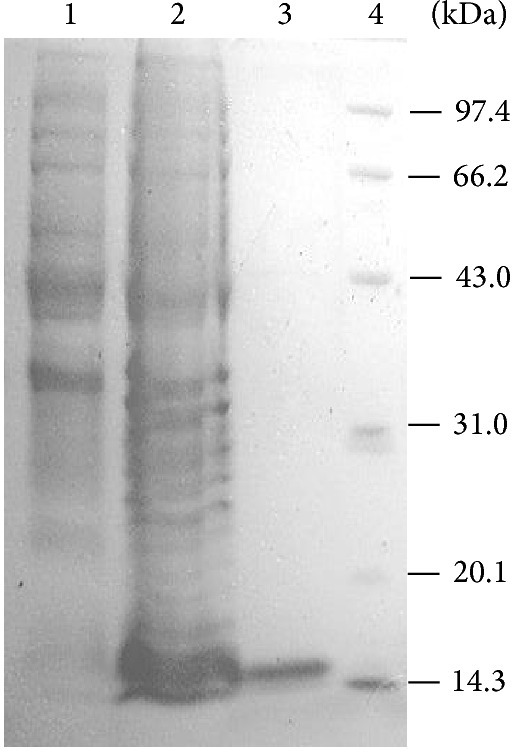 SDS-PAGE of the expression and purification of PsGrx in E. coli. lane 1: IPTG-induced E. coli BL21 (Grx−); lane 2: a total cell lysate of IPTG-induced E. coli BL21 (Grx+); lane 3: purified PsGrx; lane 4: molecular weight protein marker.